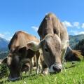 Kühe als Energielieferant